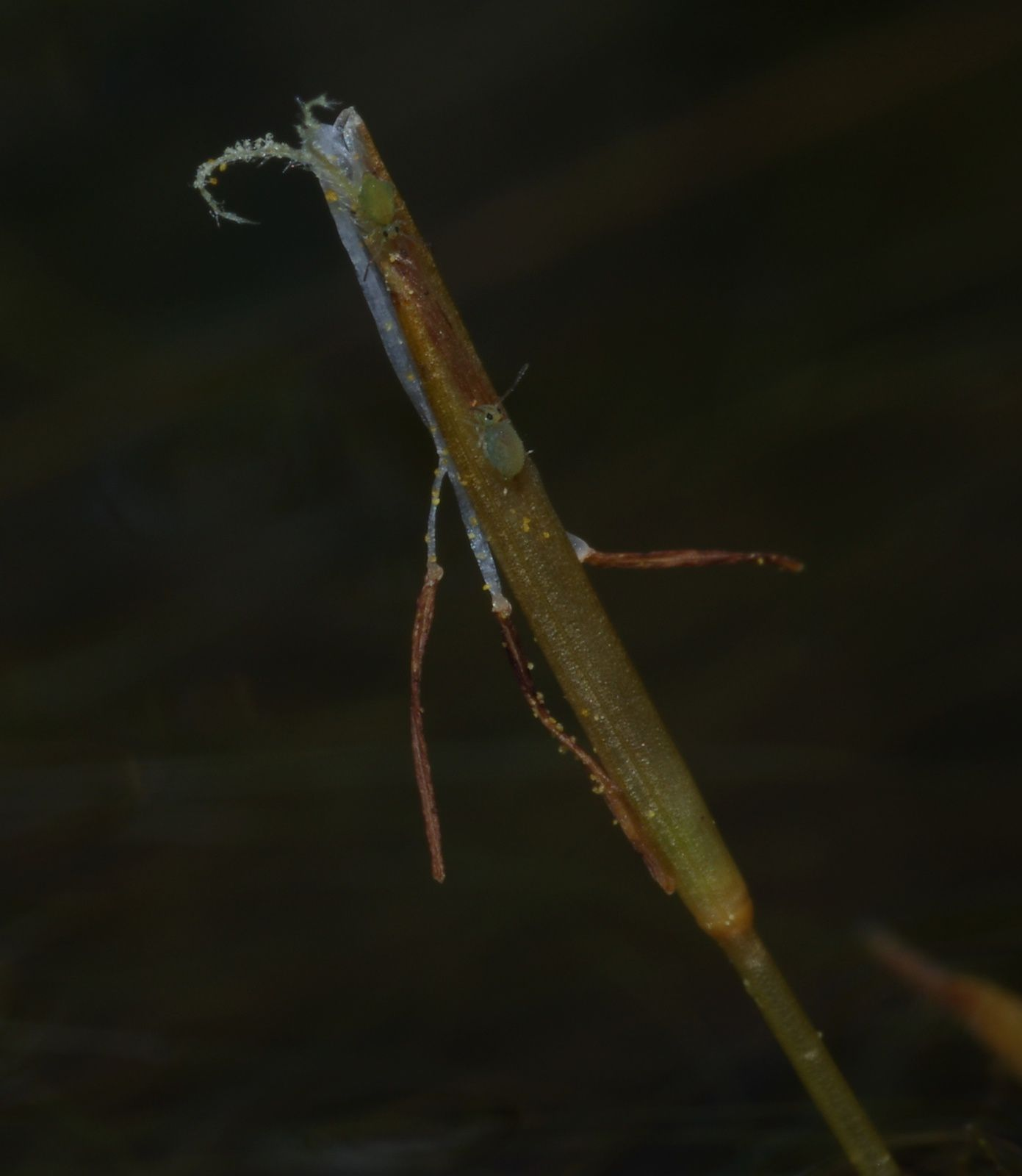 Eleocharis confervoides