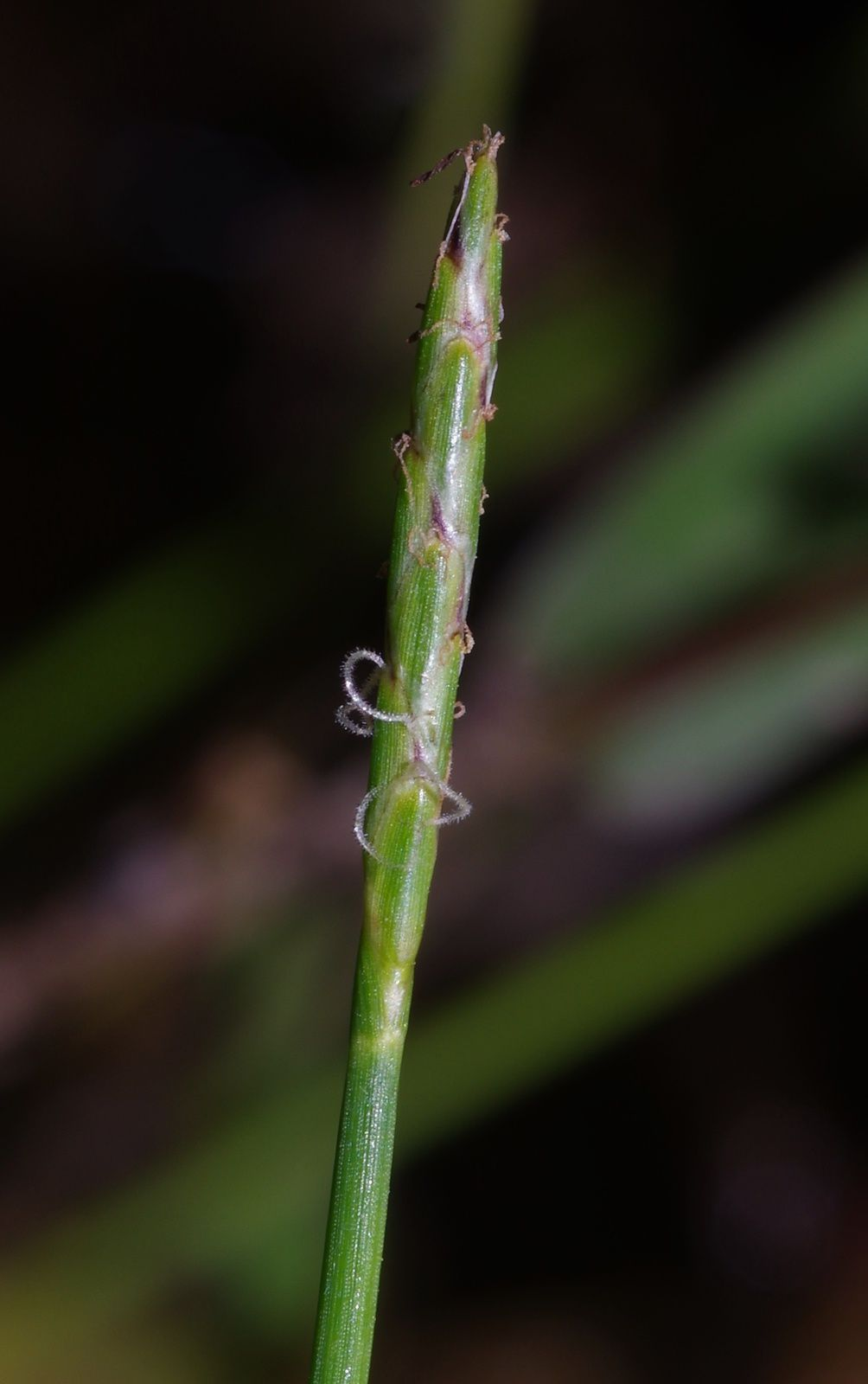 Eleocharis sp3