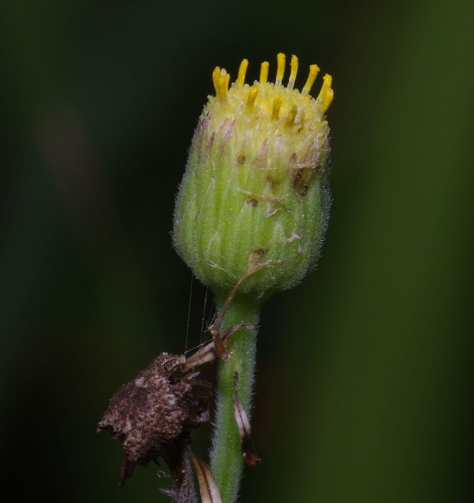 Erigeron primuliifolia