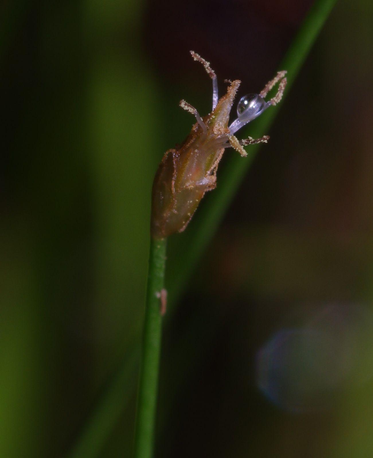 Eleocharis cf nana