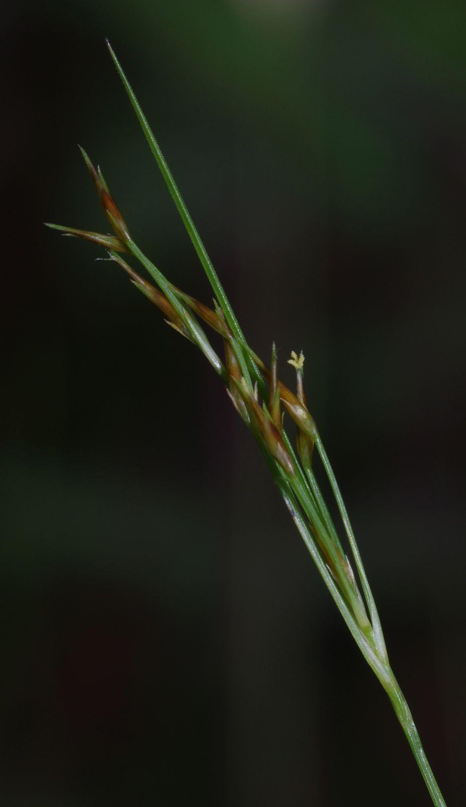Rhynchospora fallax
