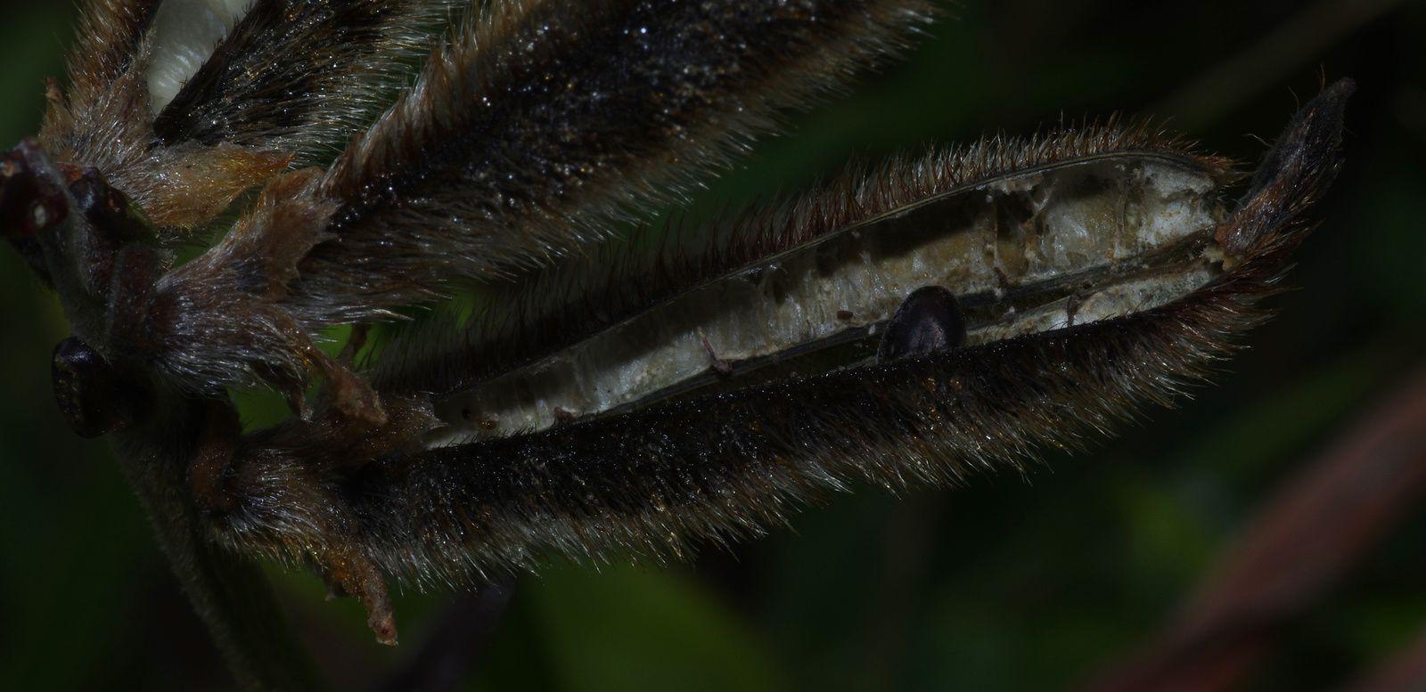 Vigna lasiocarpa