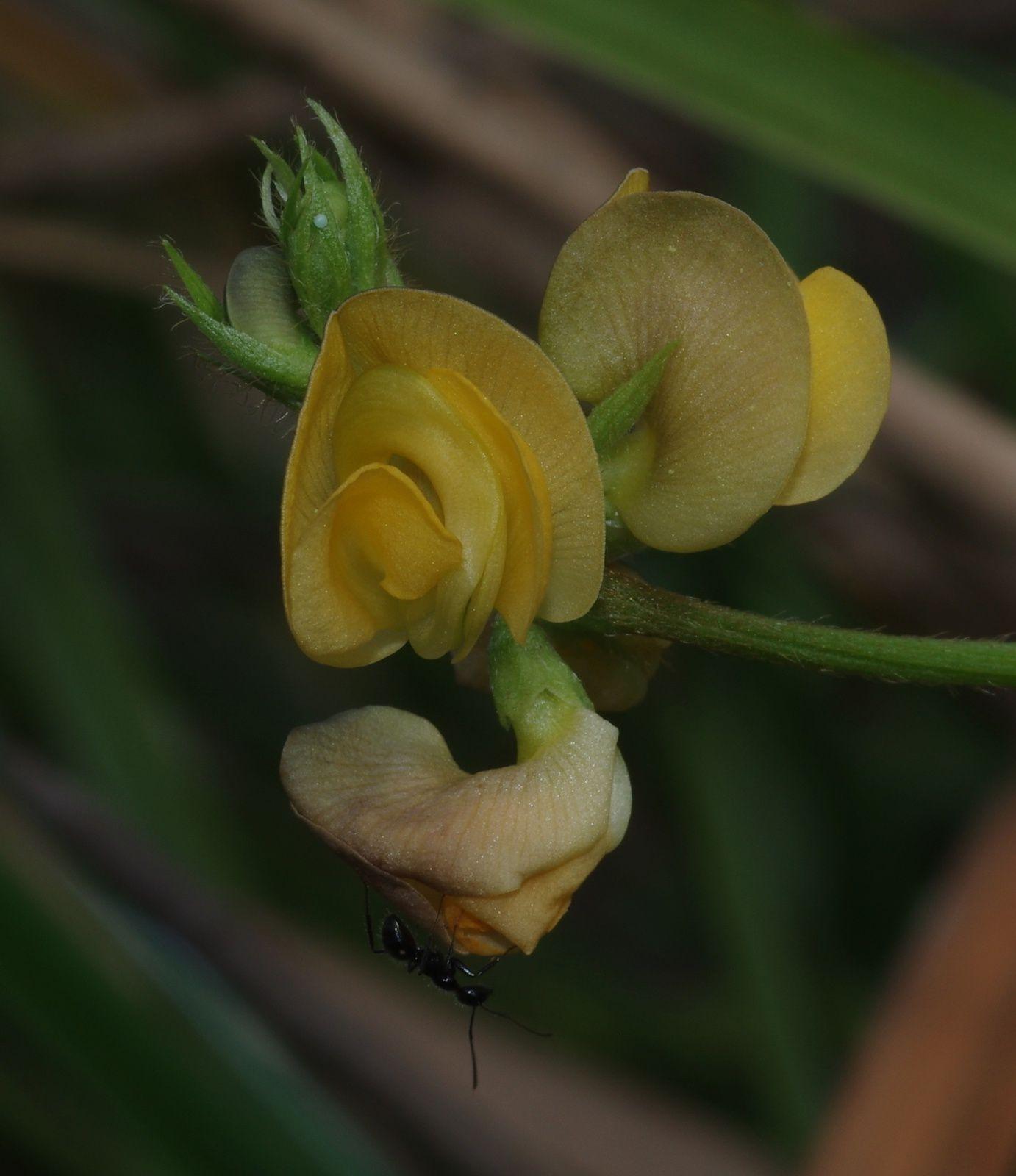 Vigna longifolia