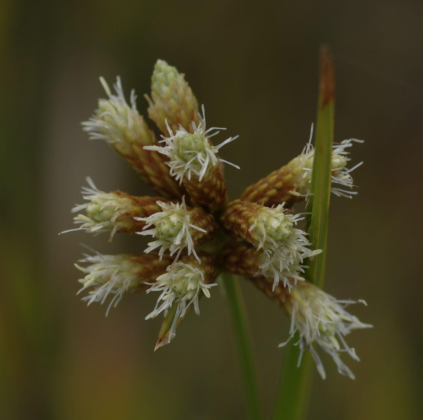 Hypolytrum pulchrum
