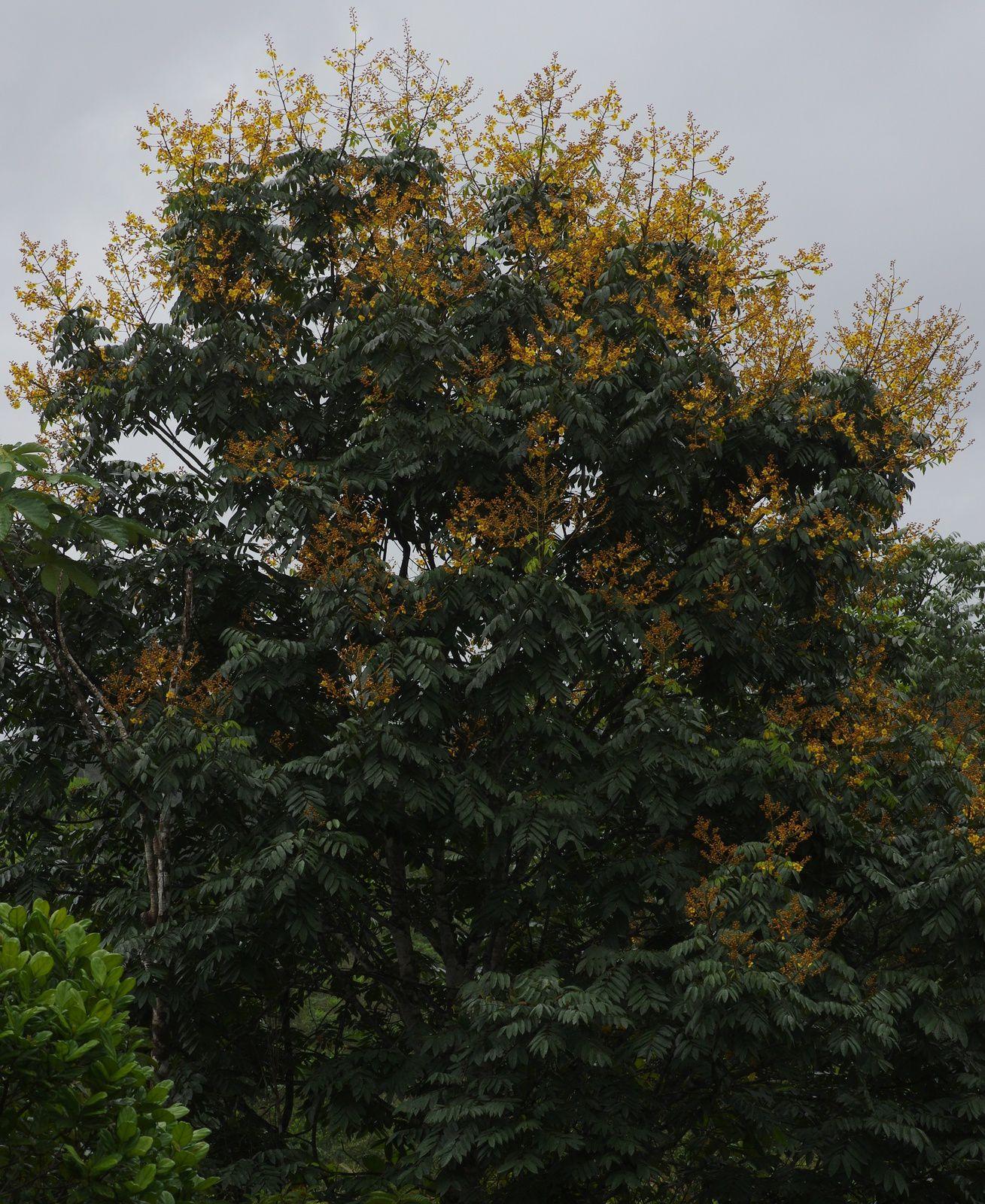 Recordoxylon speciosum (wacapou-guitin)