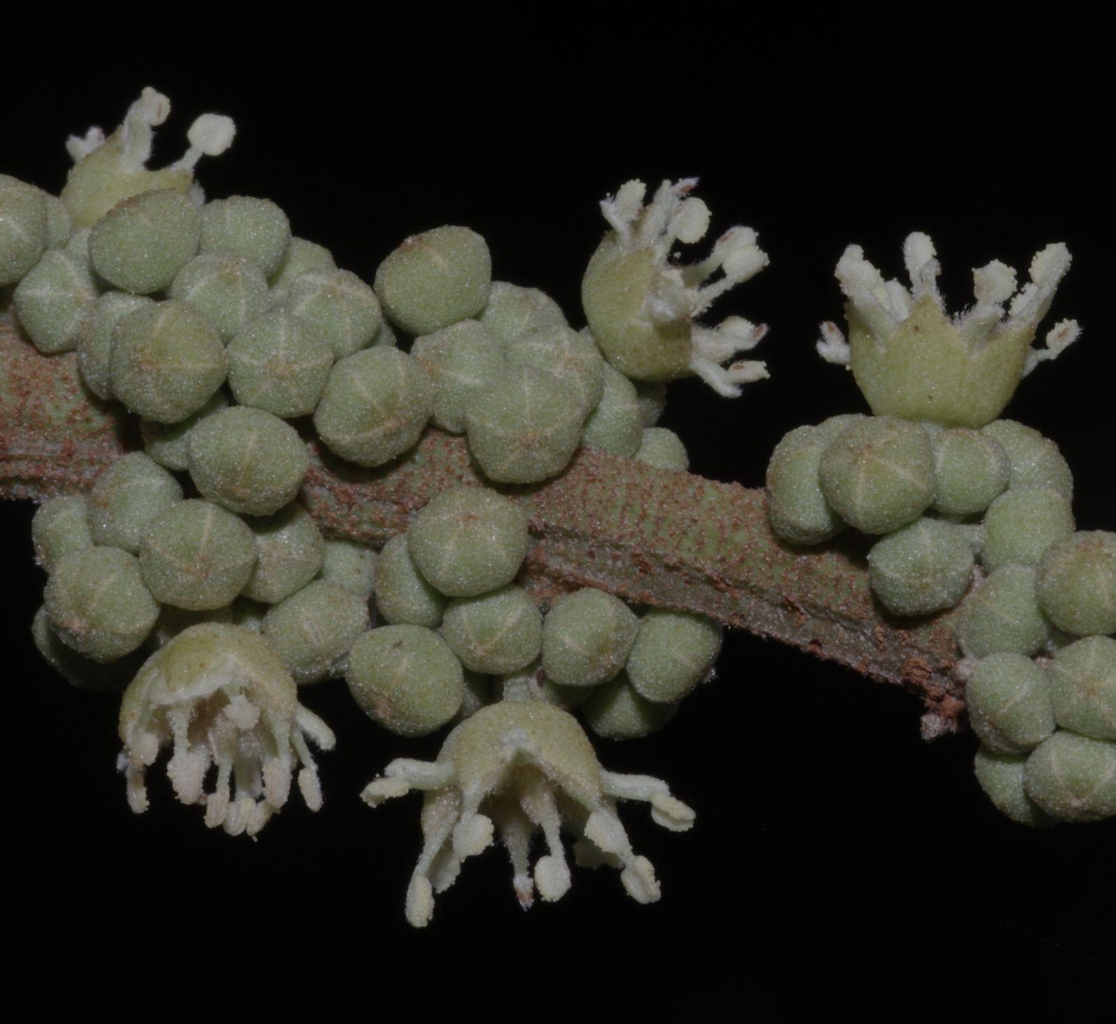 Croton nuntians
