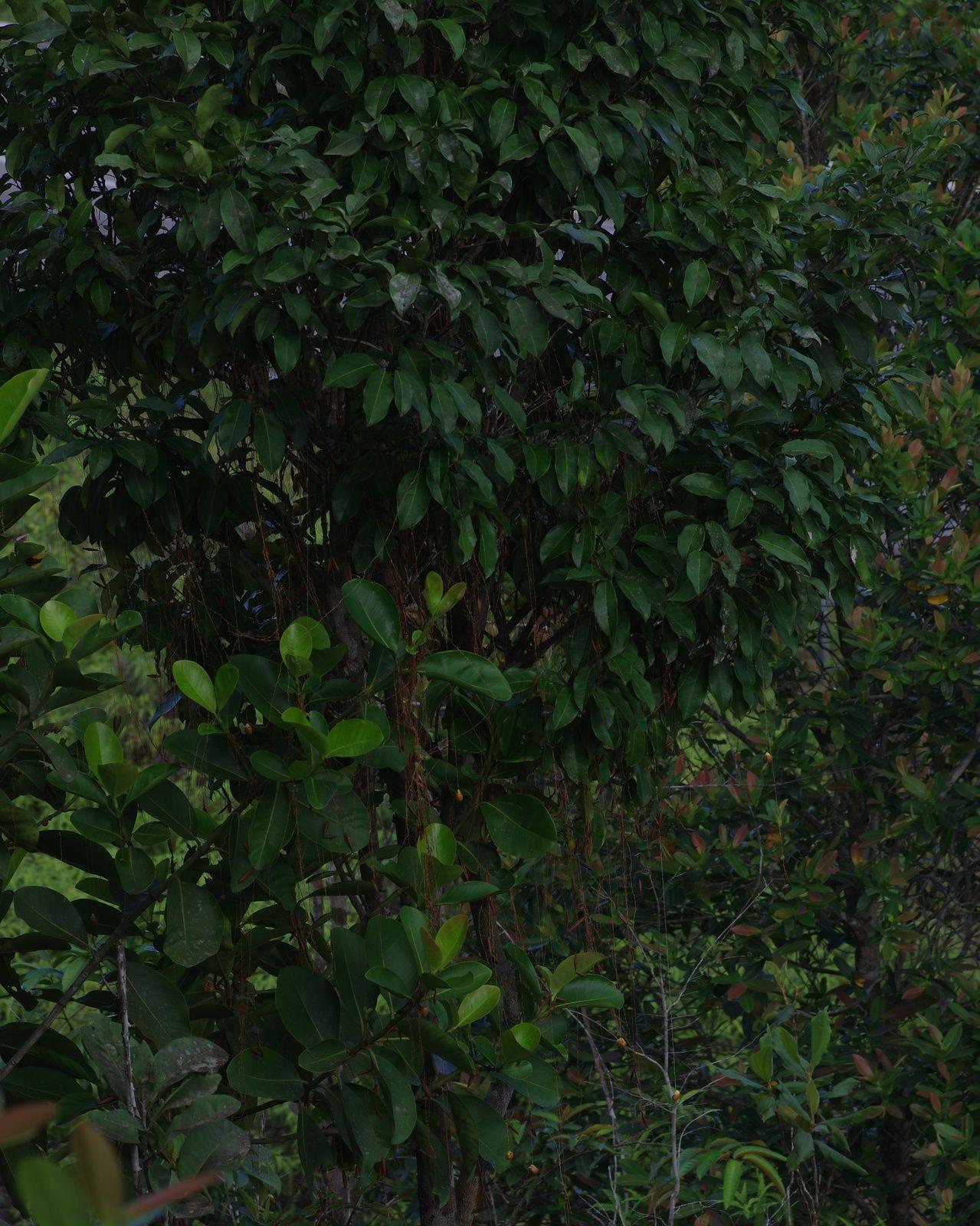 Bocoa prouacensis (boco, bois de fer)