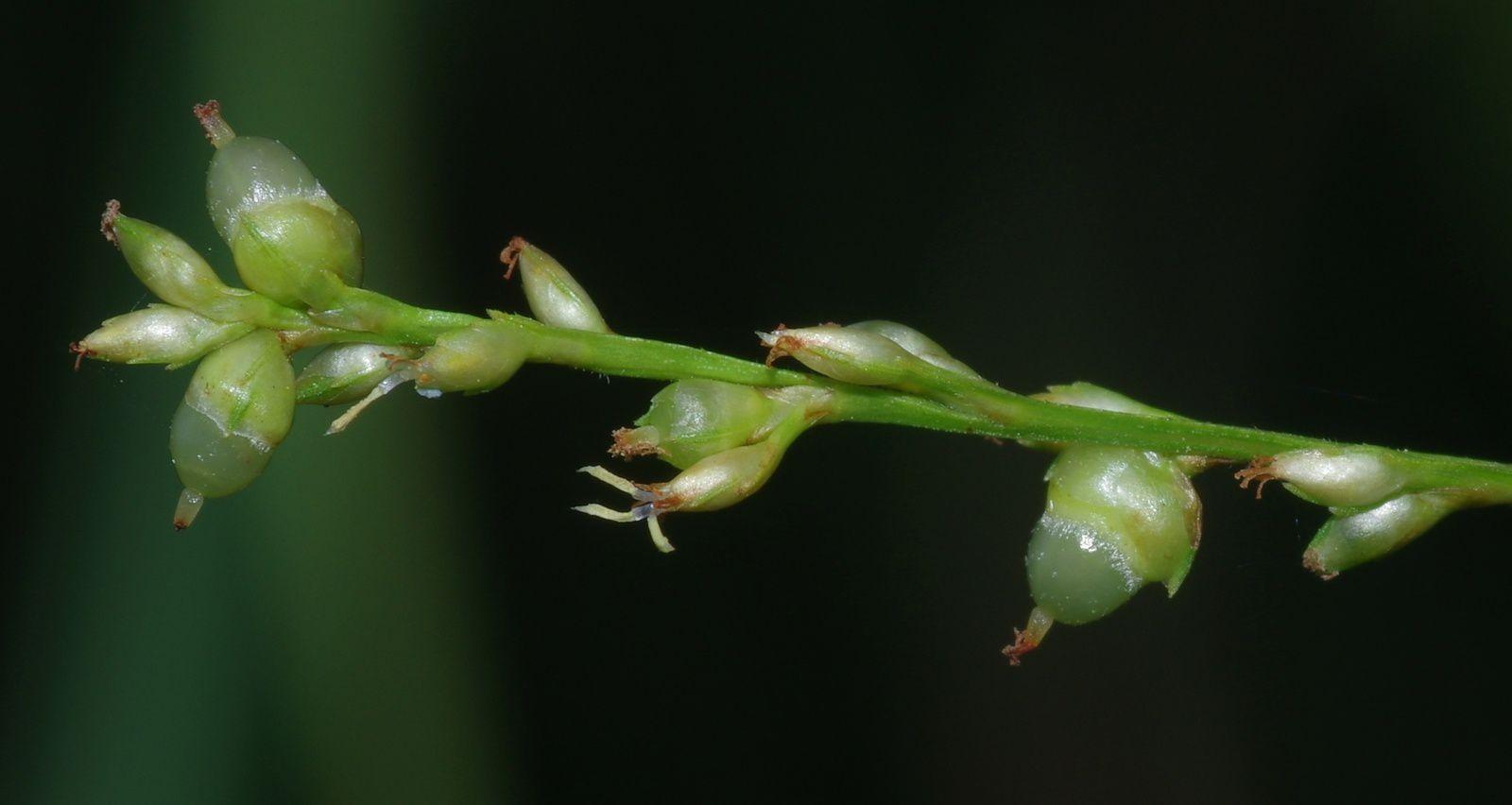 Scleria microcarpa