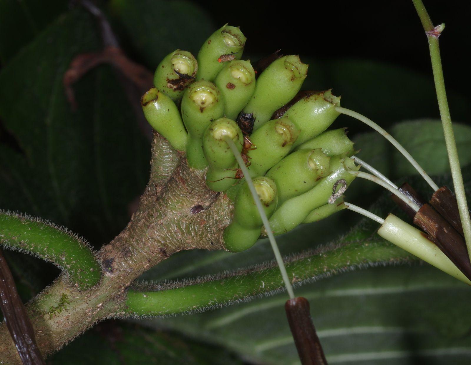 Tocoyena guianensis