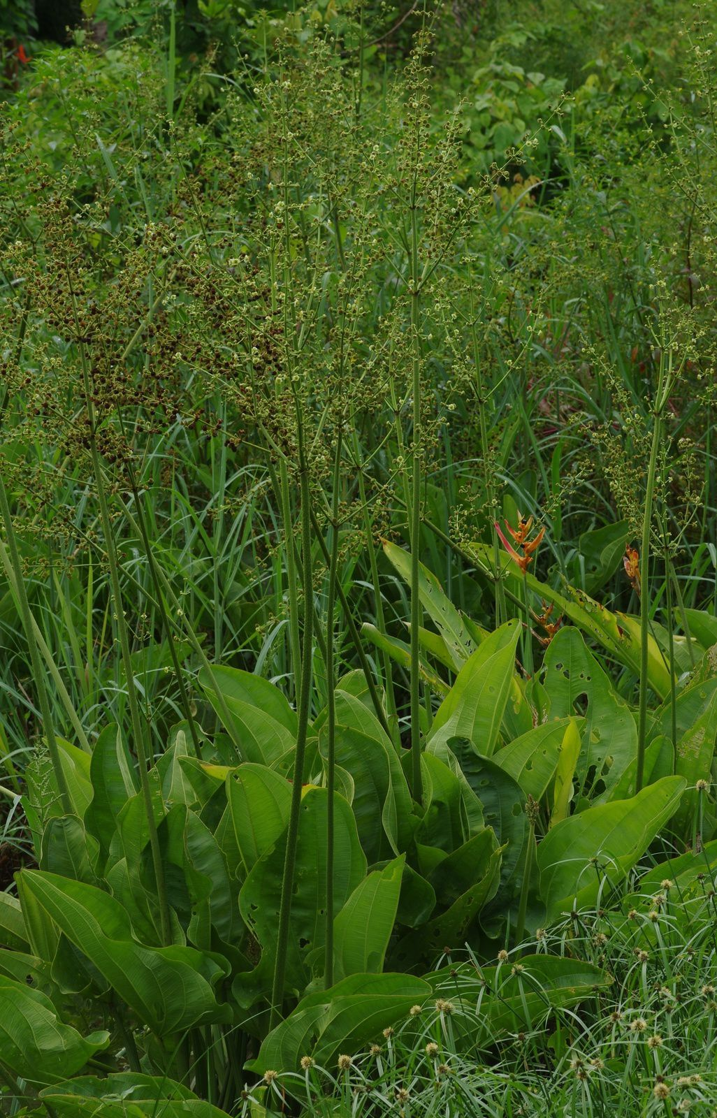 Echinodorus macrophyllus subsp. scaber
