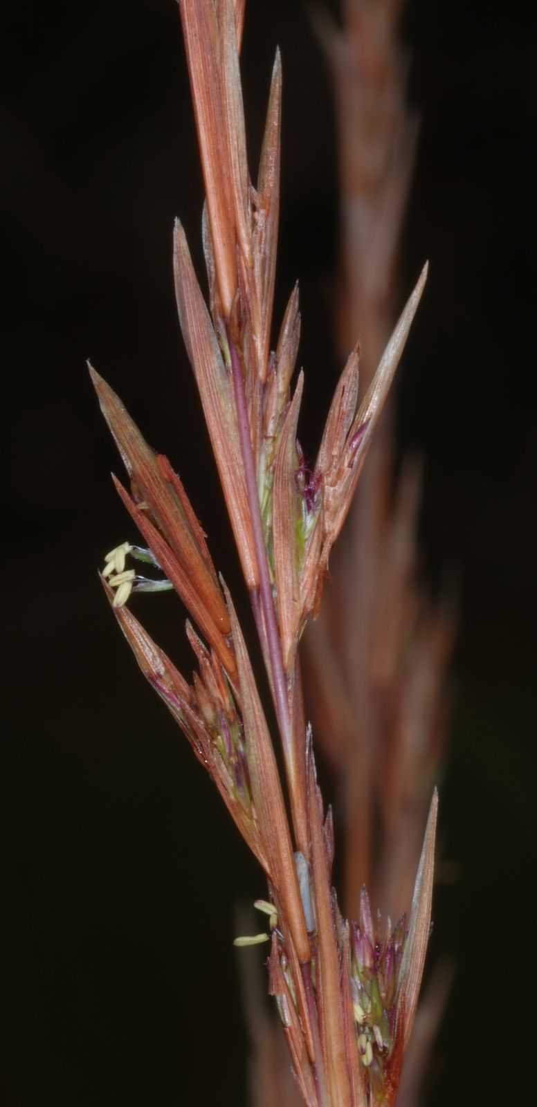 Andropogon virgatus
