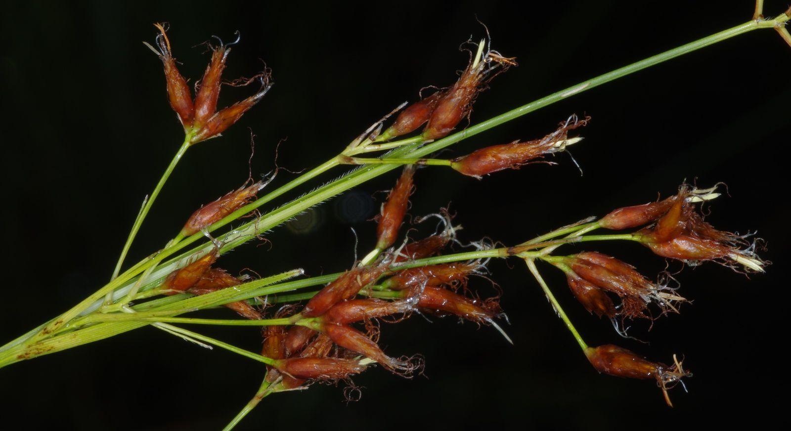 Rhynchospora velutina