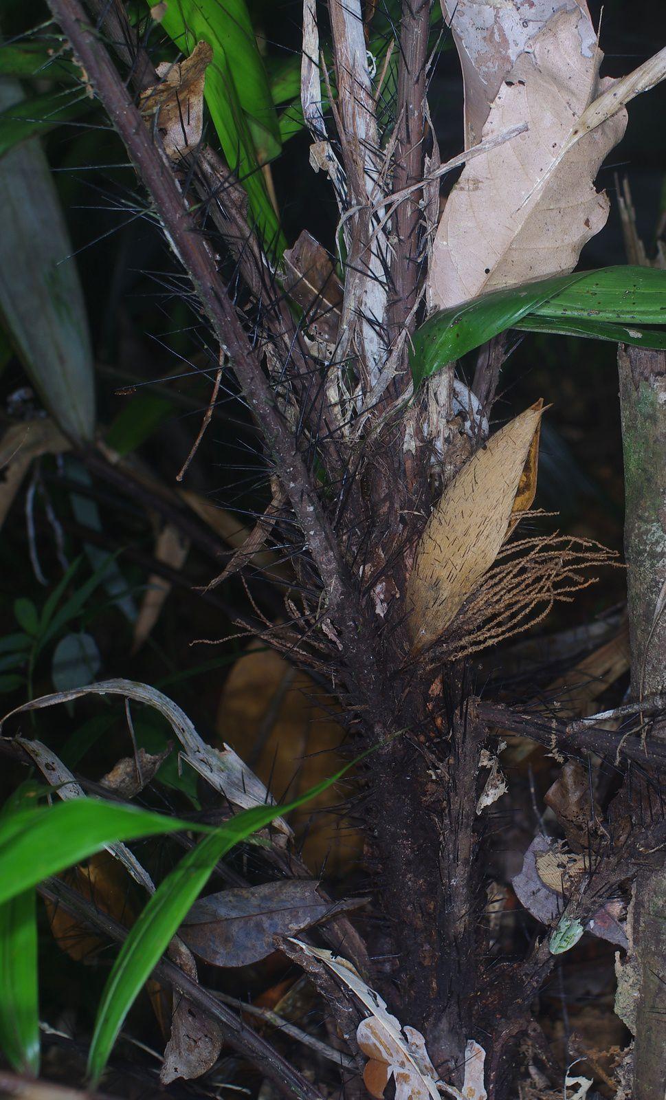 Bactris acanthocarpa