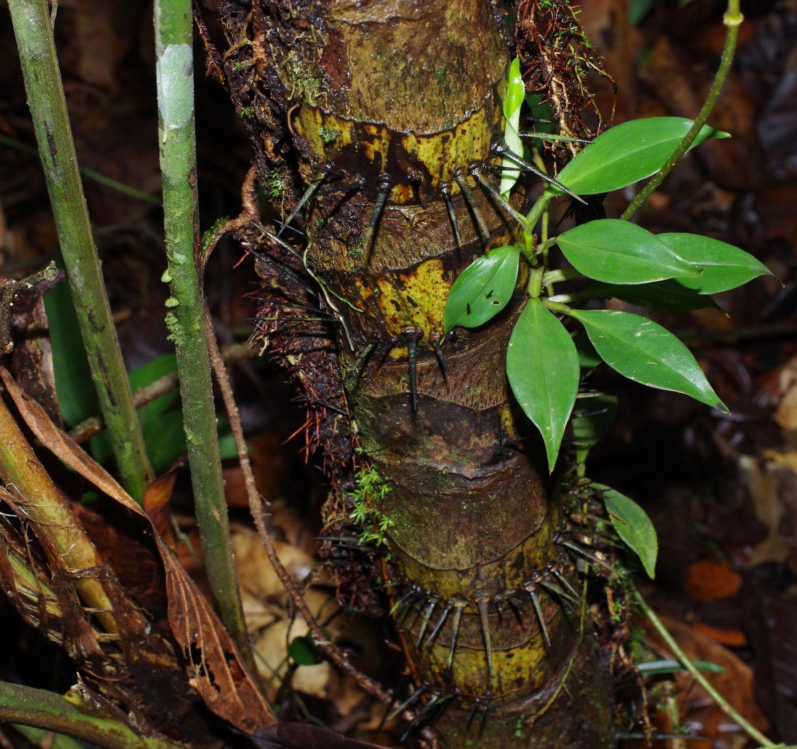 Bactris pliniana