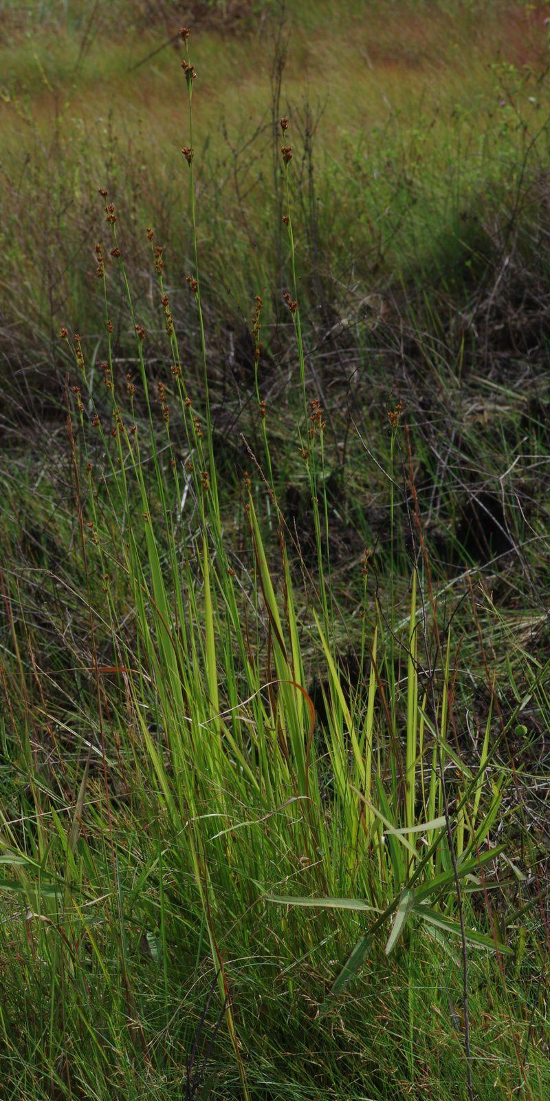 Rhynchospora rugosa