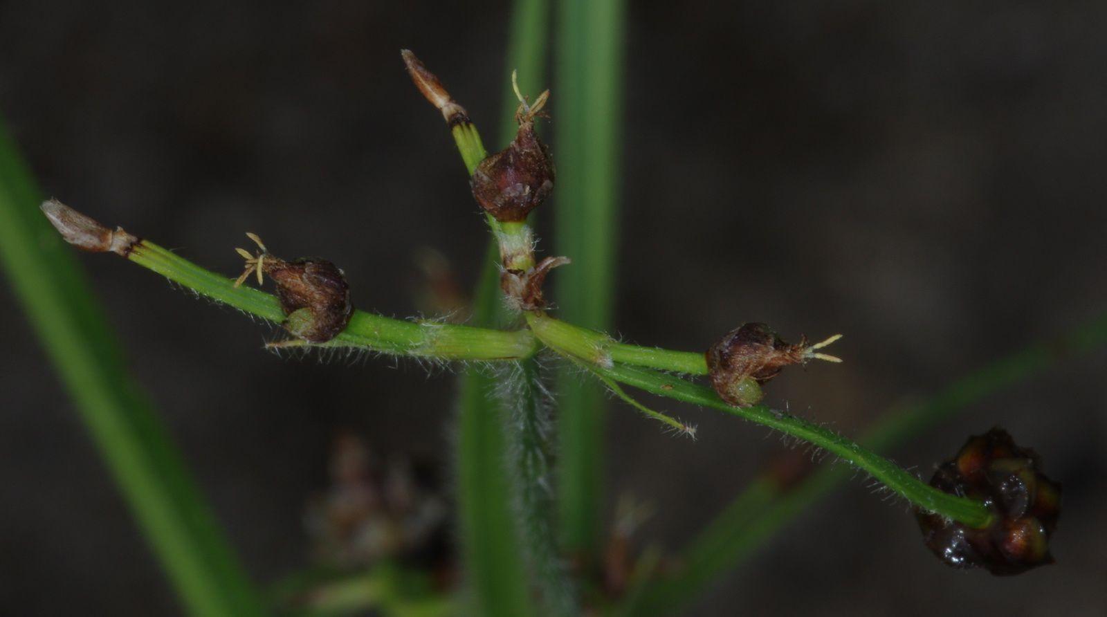 Rhynchospora divaricata