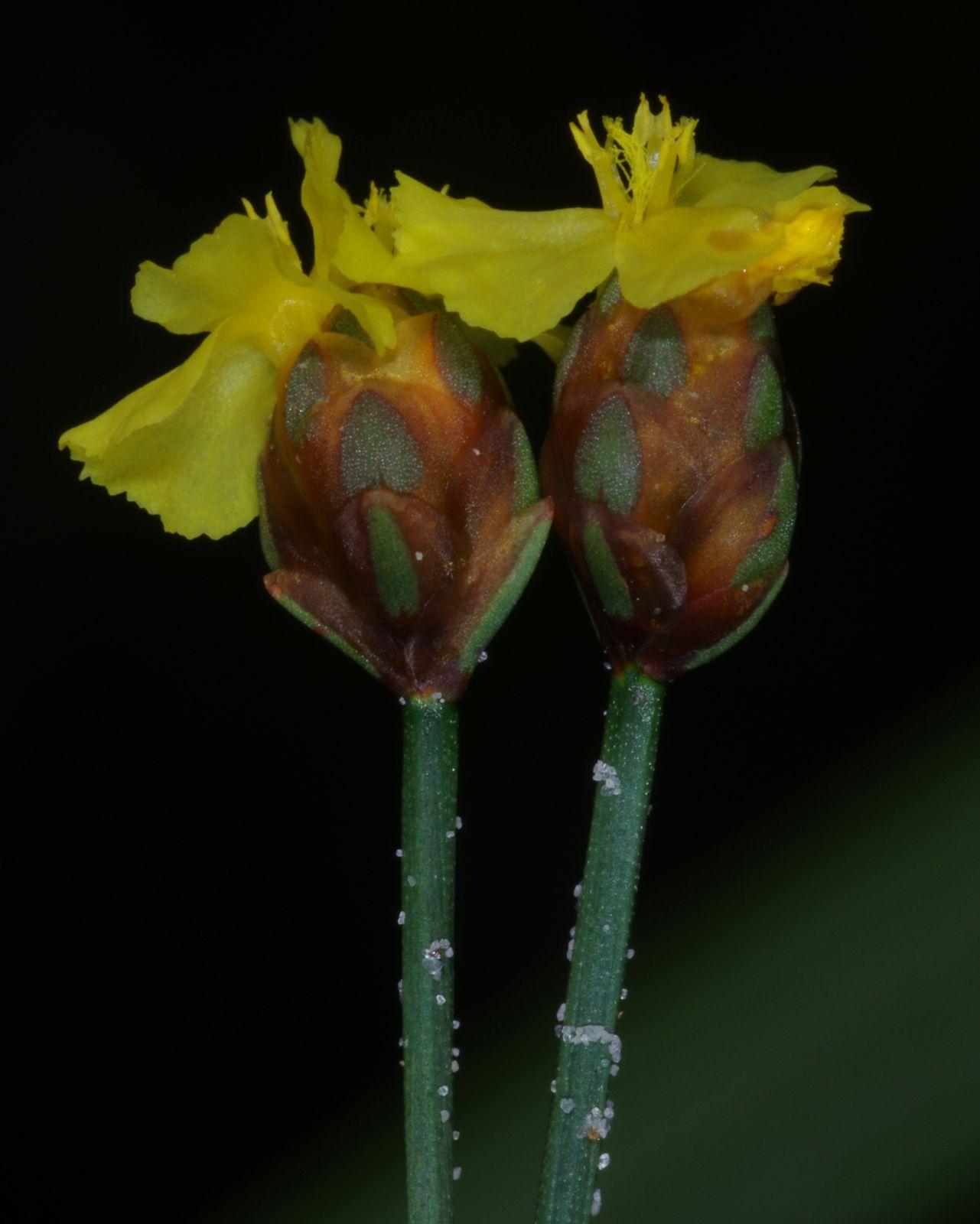 Xyris paraensis var. paraensis