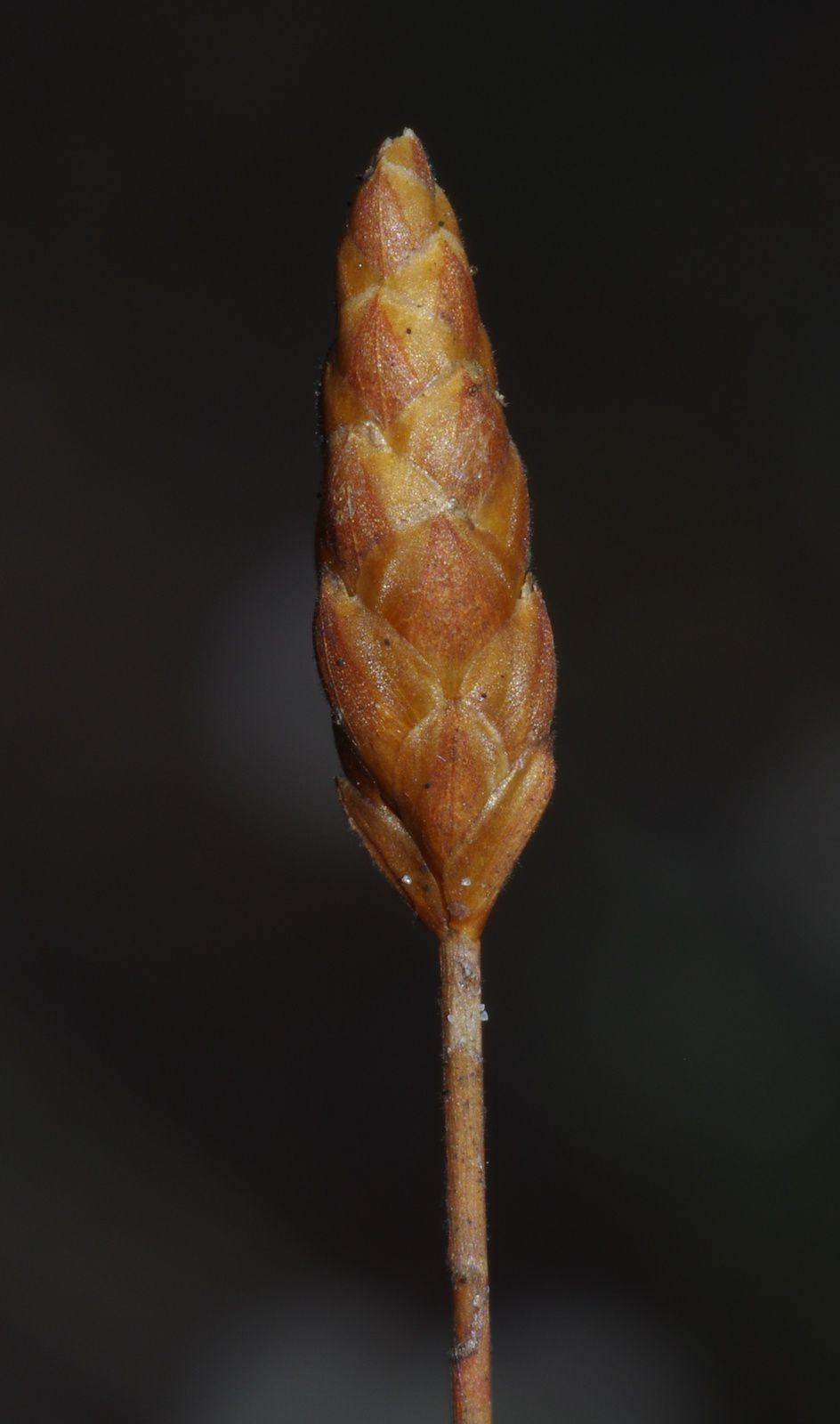 Xyris longiceps
