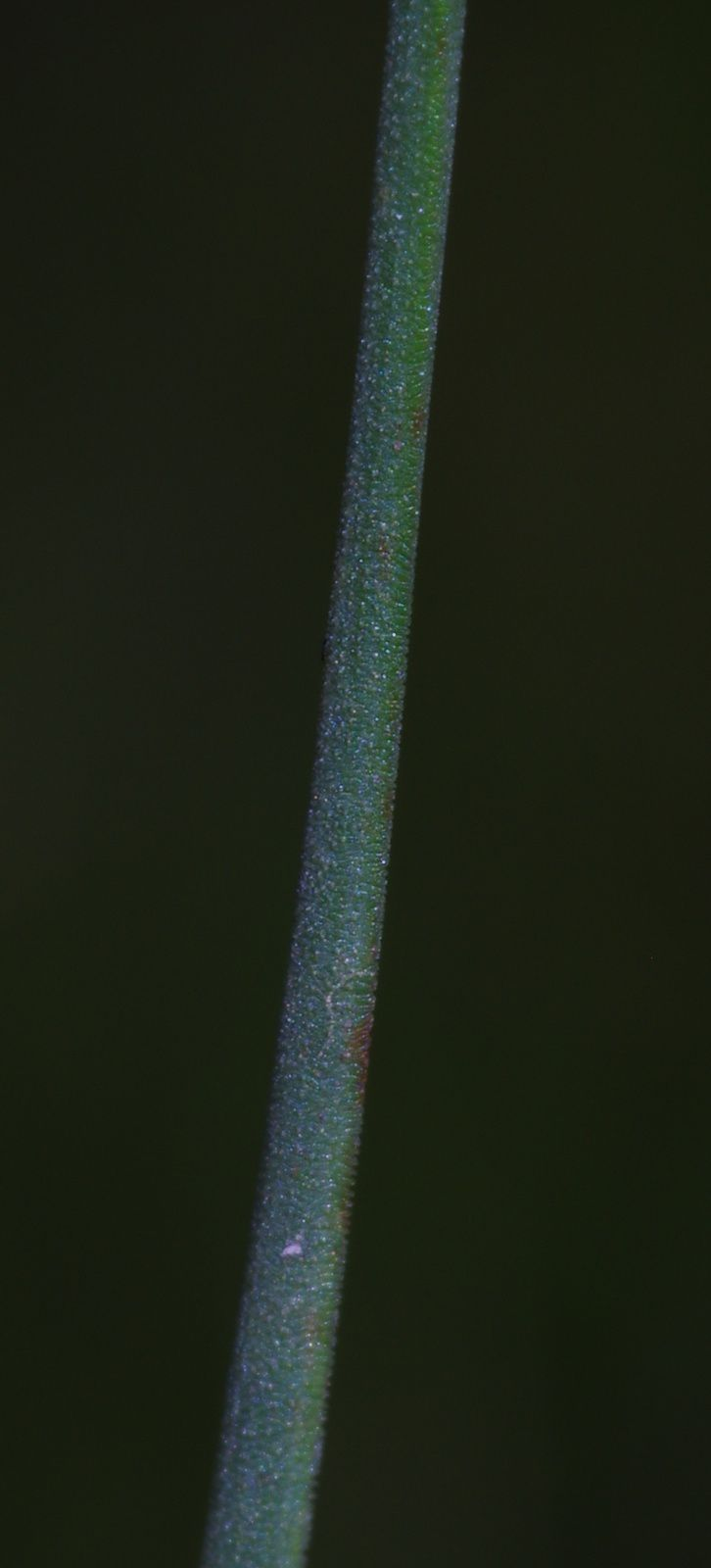 Xyris savanensis