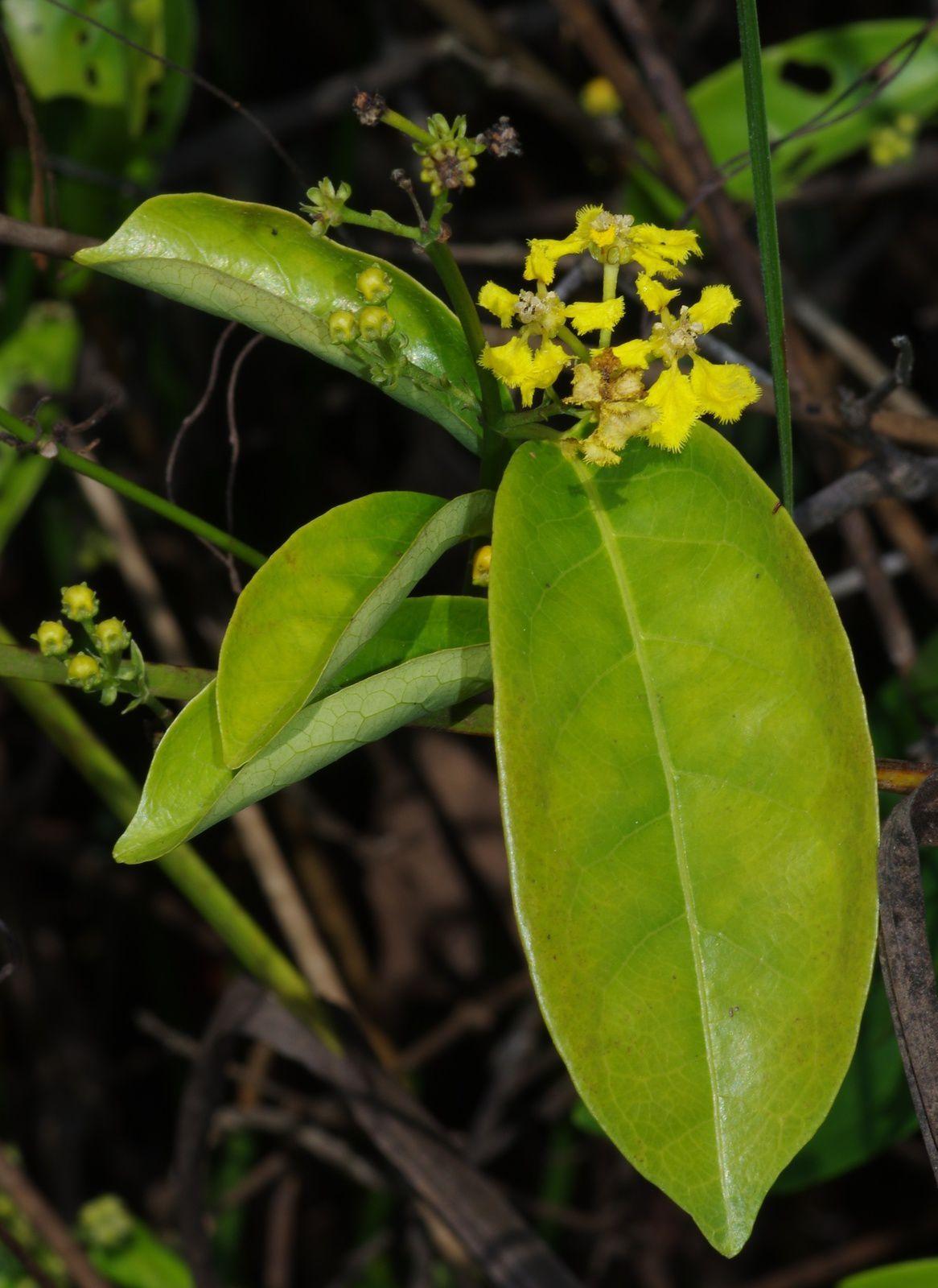 Diplopterys pauciflora