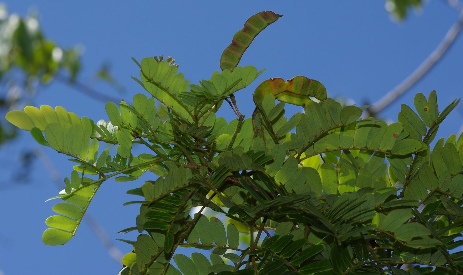 Hydrochorea corymbosa