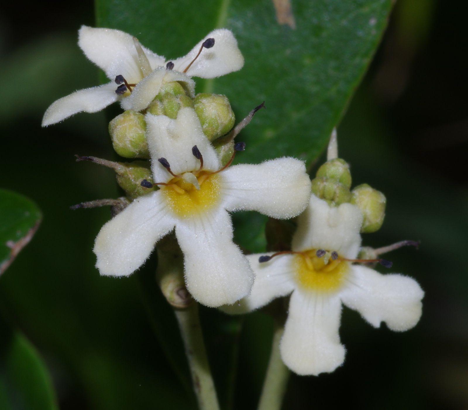 Avicennia germinans (palétuvier blanc)