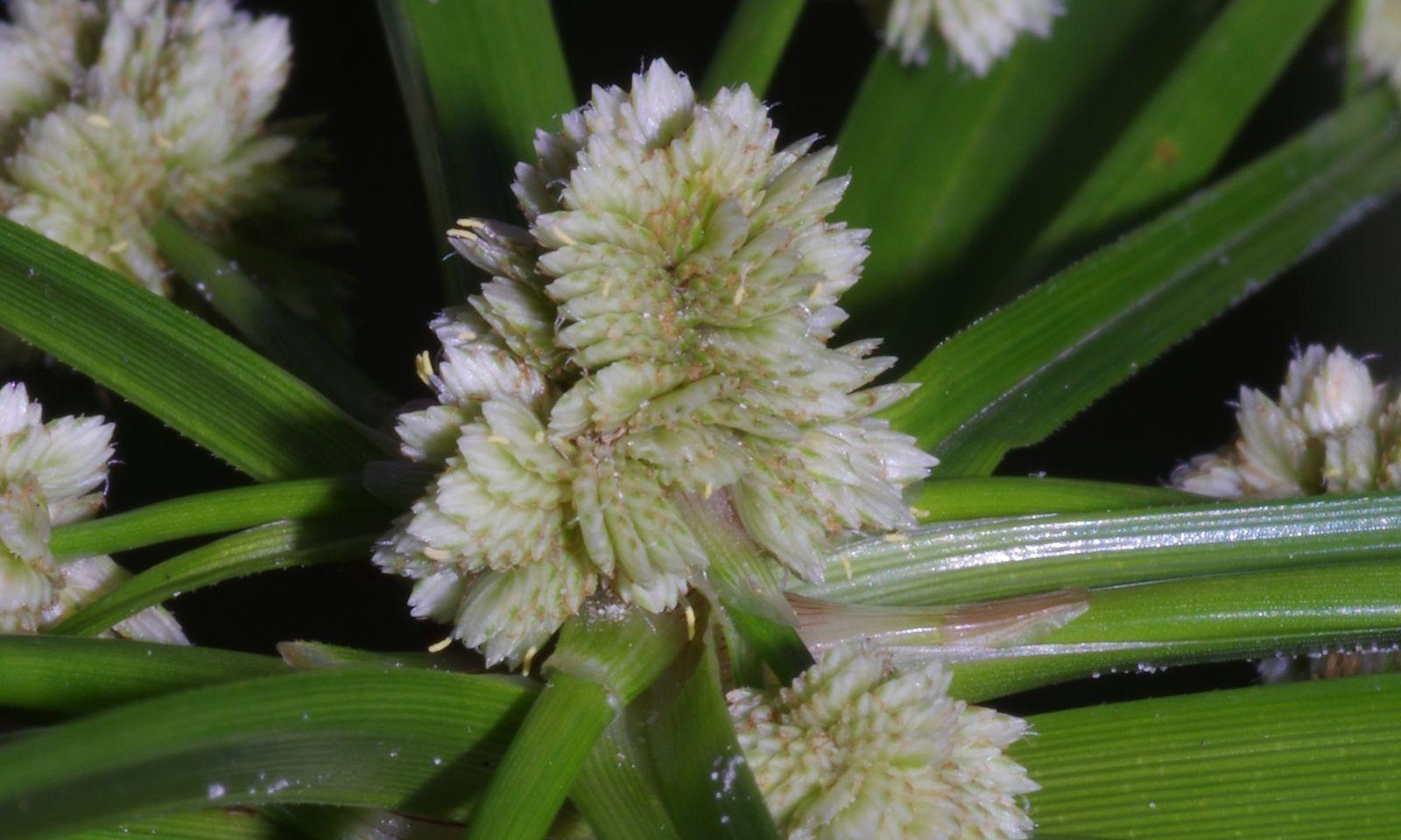 Cyperus luzulae