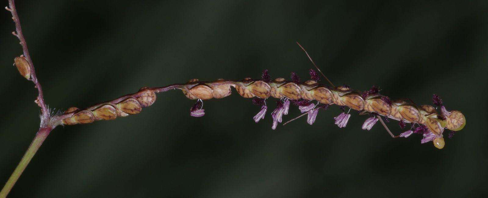 Paspalum serpentinum