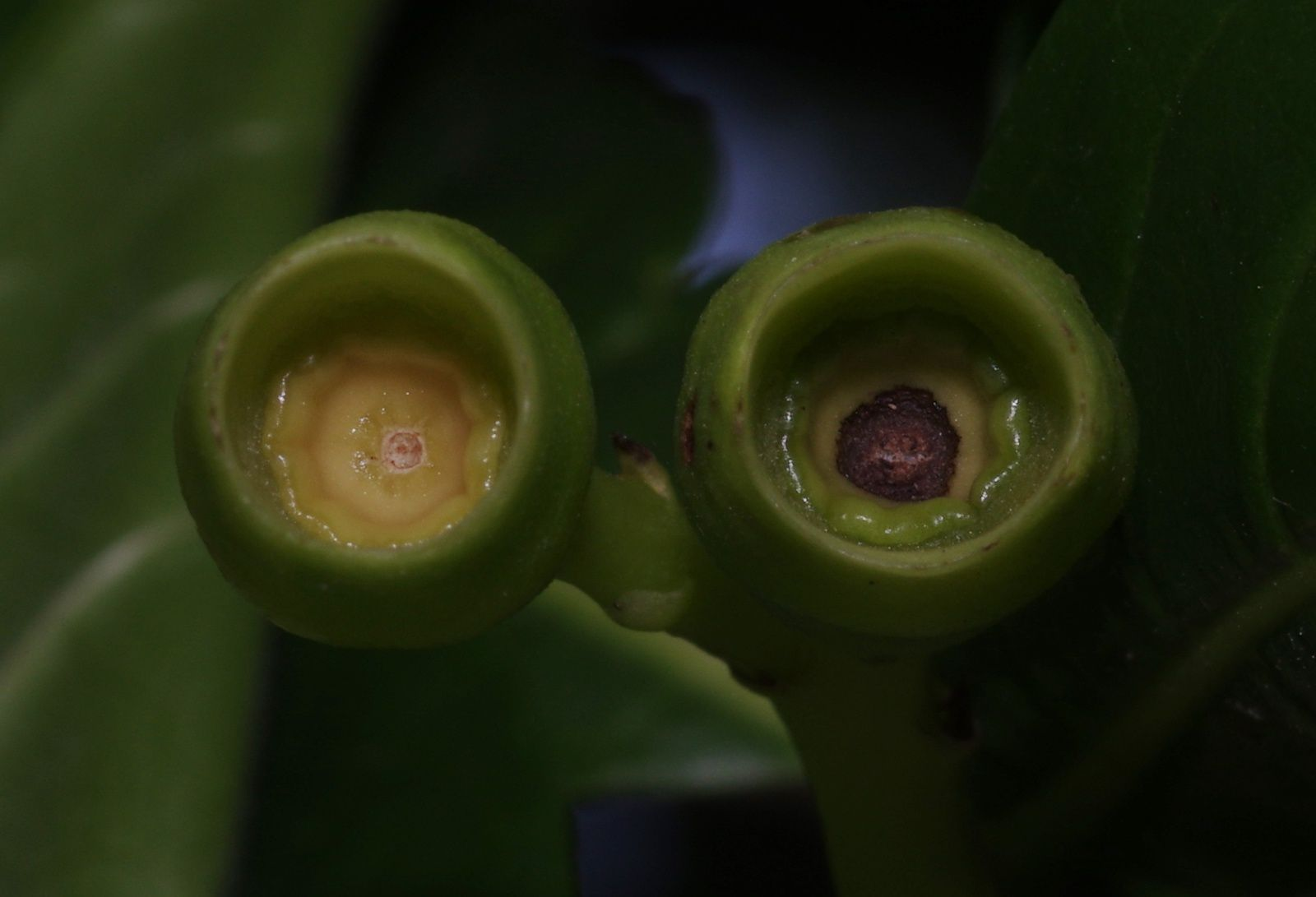 Genipa spruceana (ti génipa, génipa dlo)