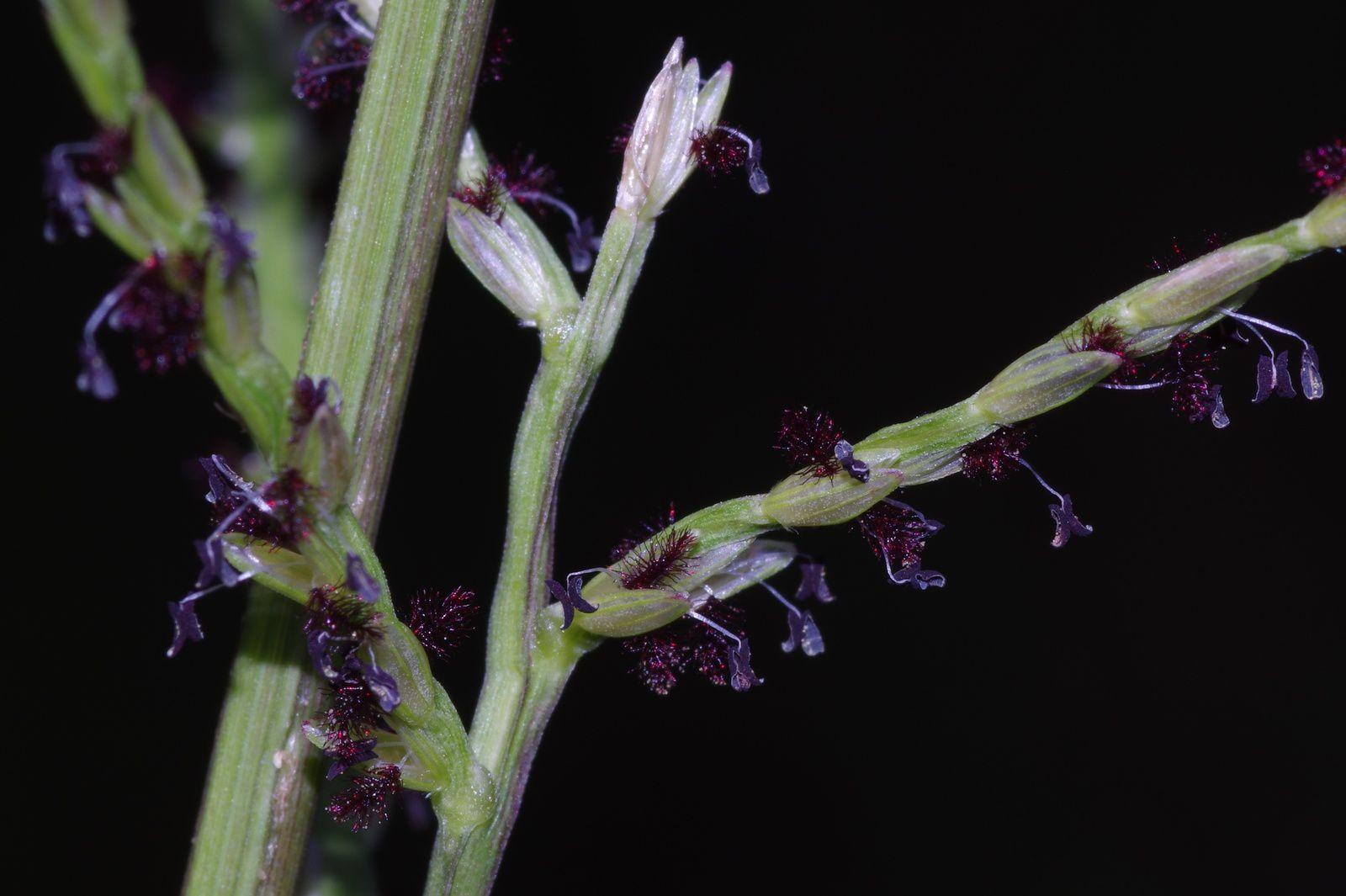 Axonopus surinamensis