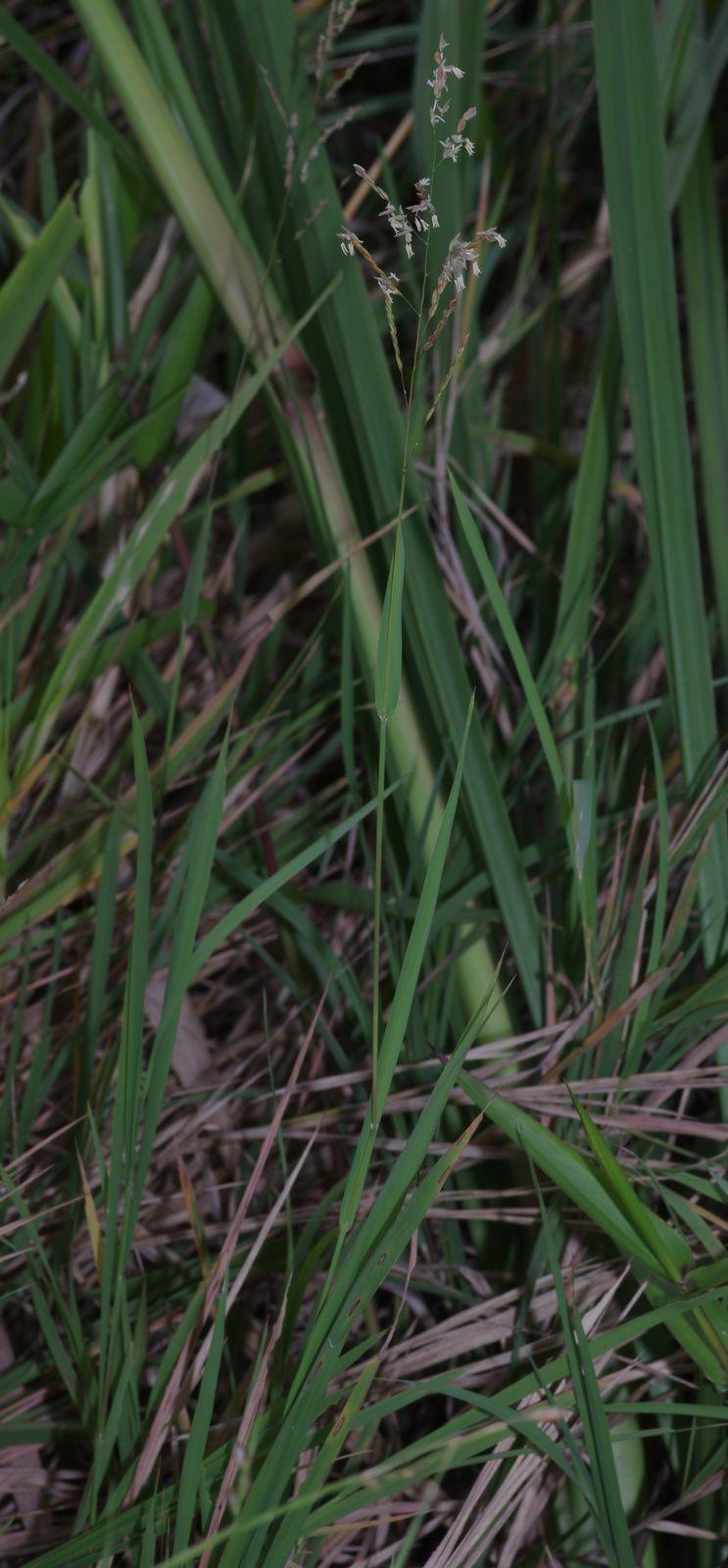 Leersia hexandra