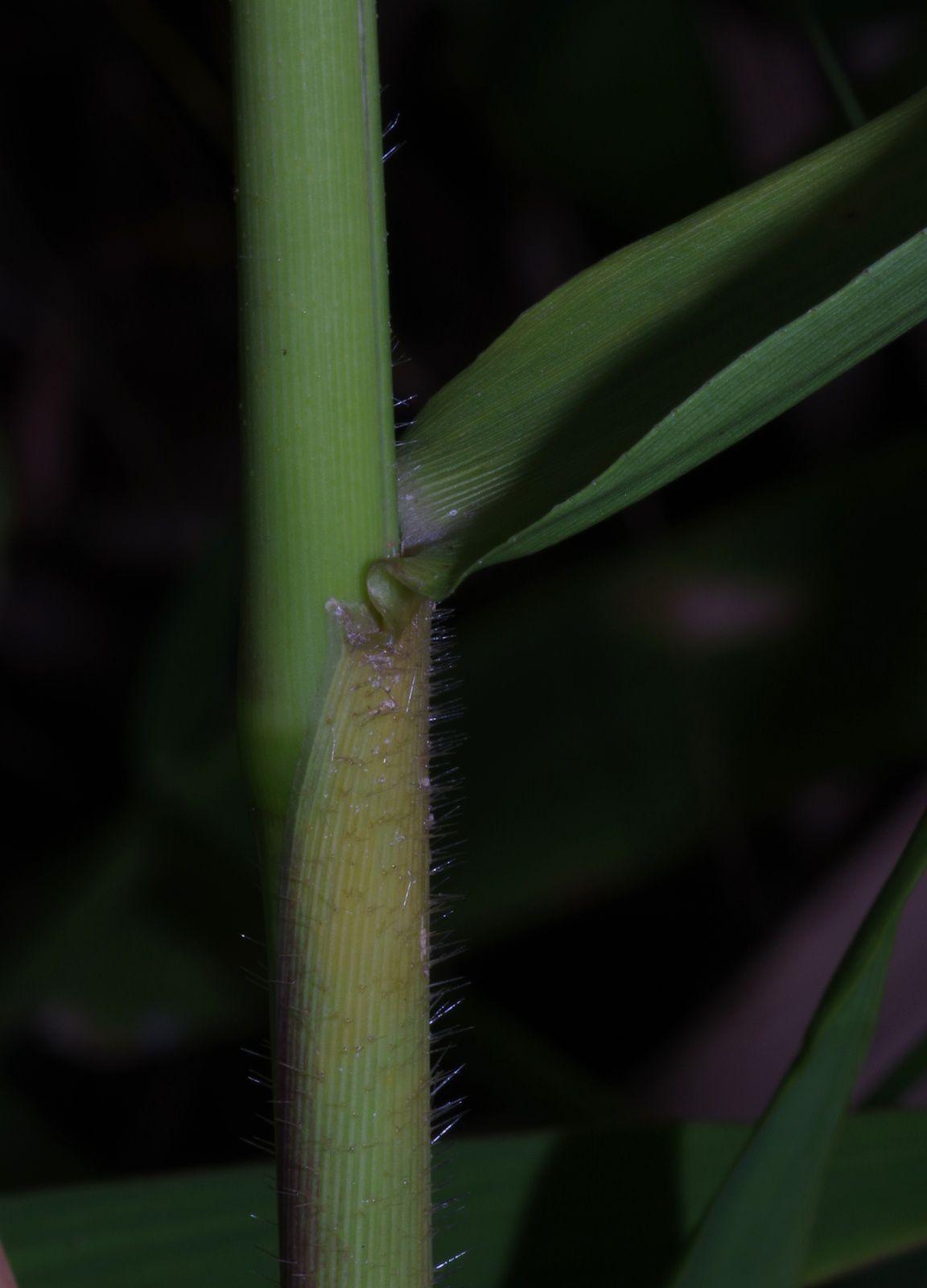 Panicum mertensii