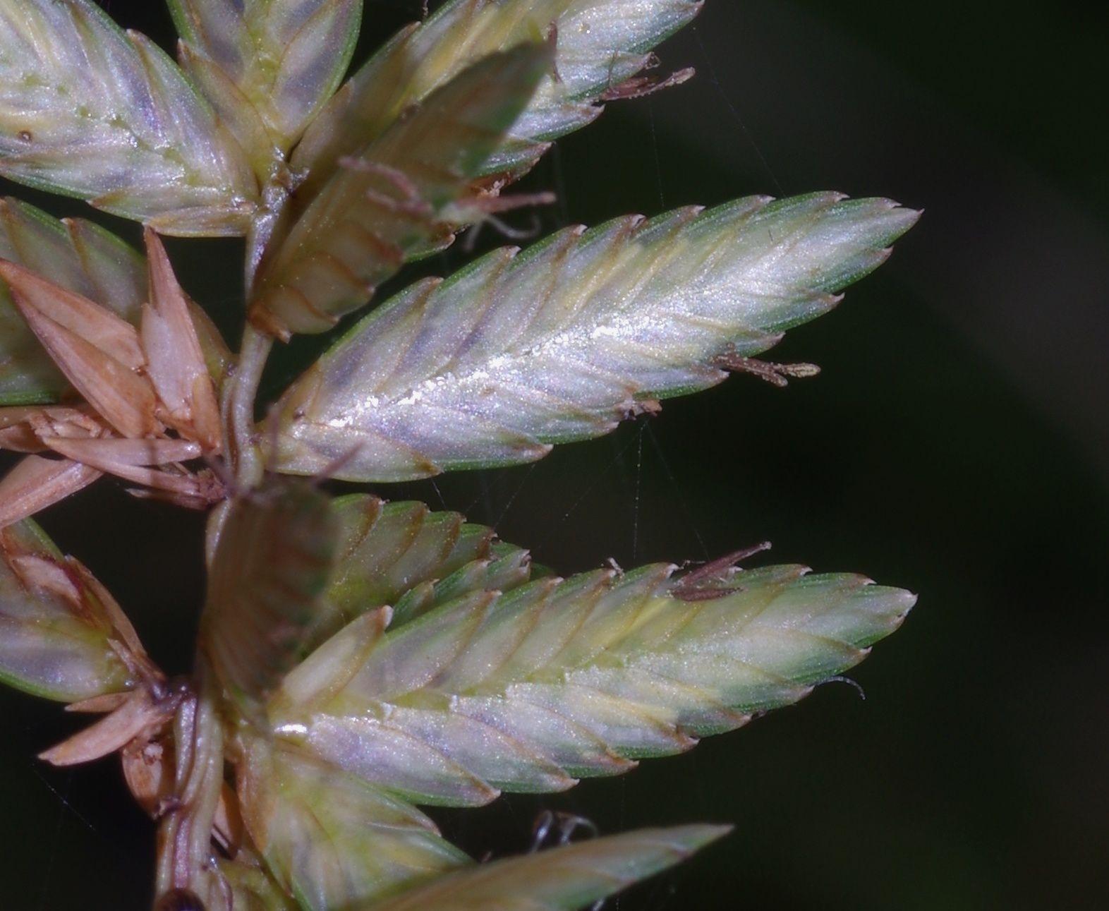 Cyperus unioloides