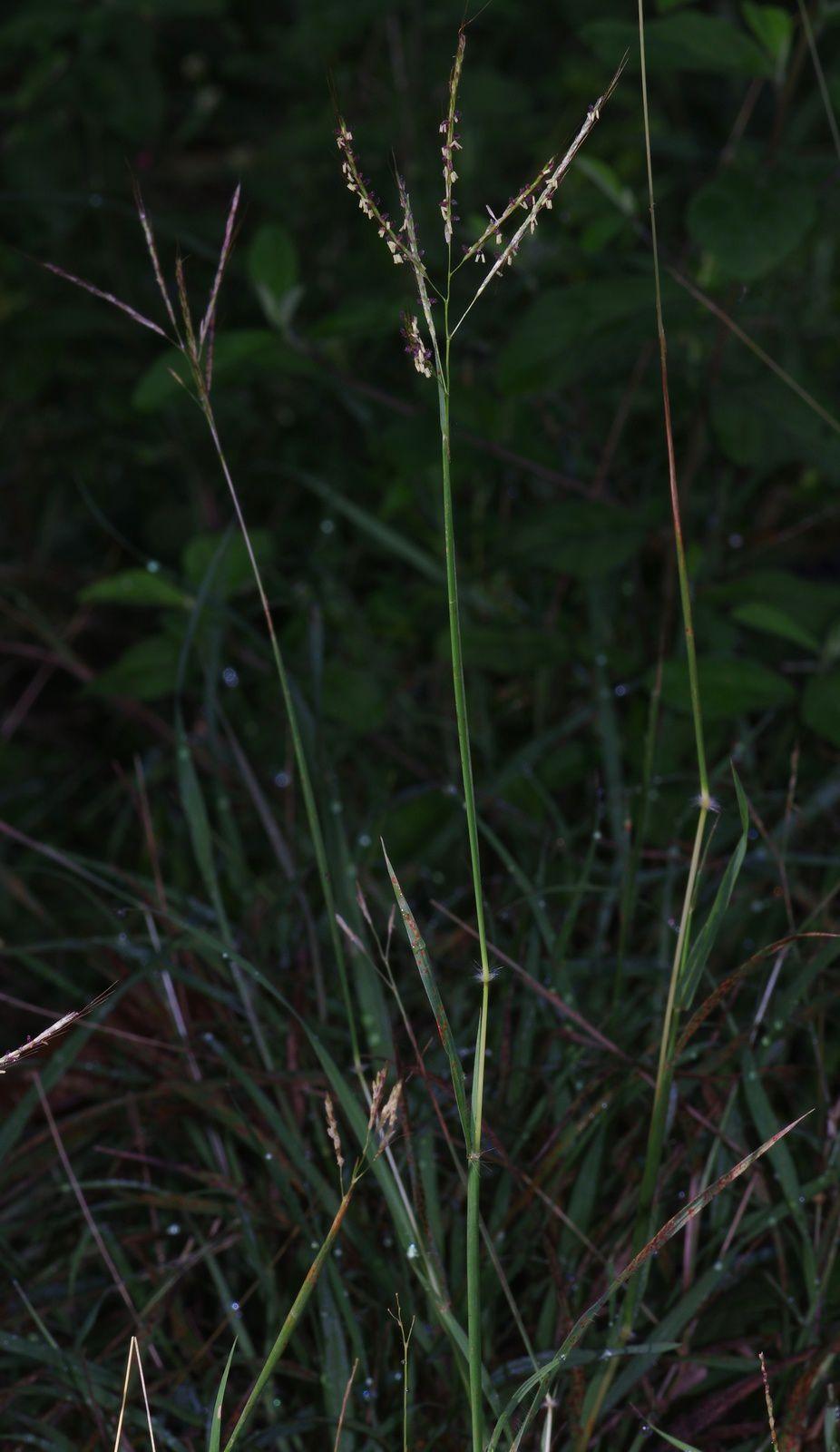 Bothriochloa bladhii