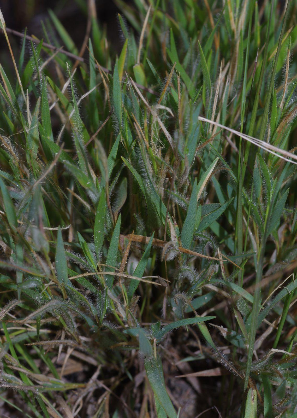 Panicum micranthum