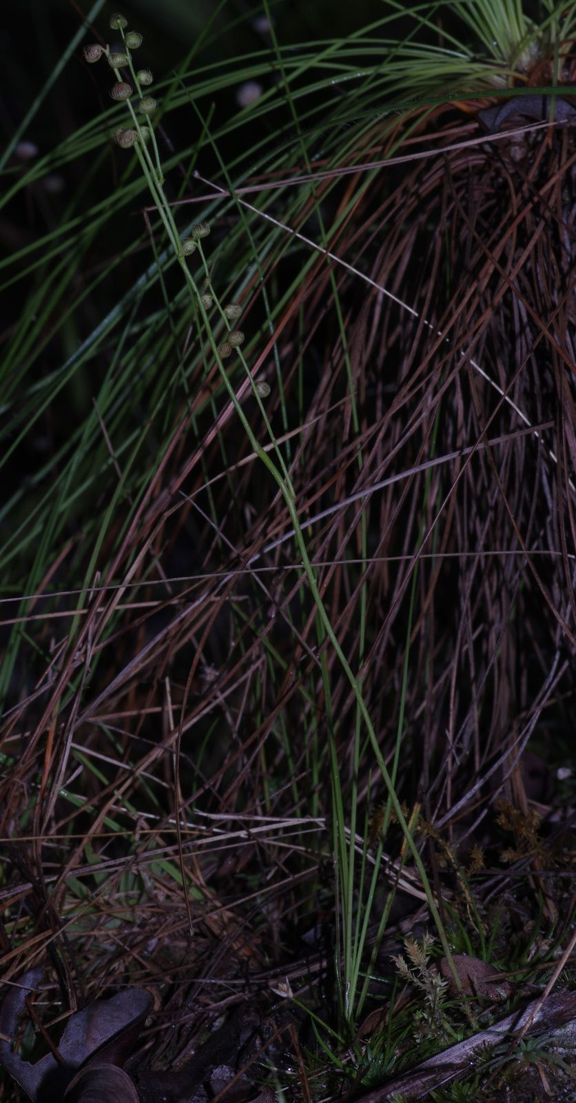 Utricularia longiciliata