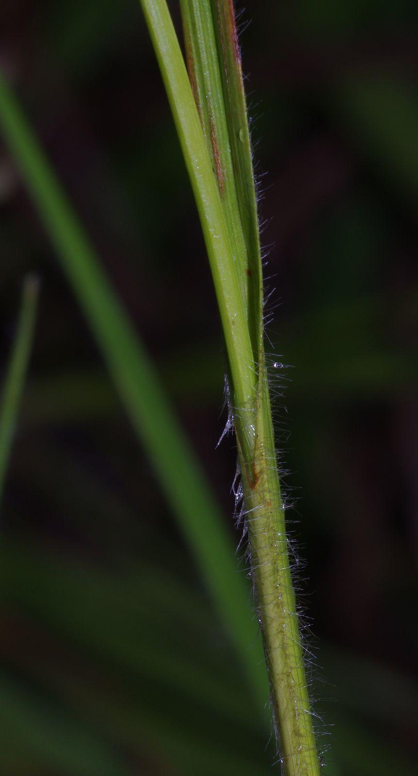 Rhynchospora subdicephala