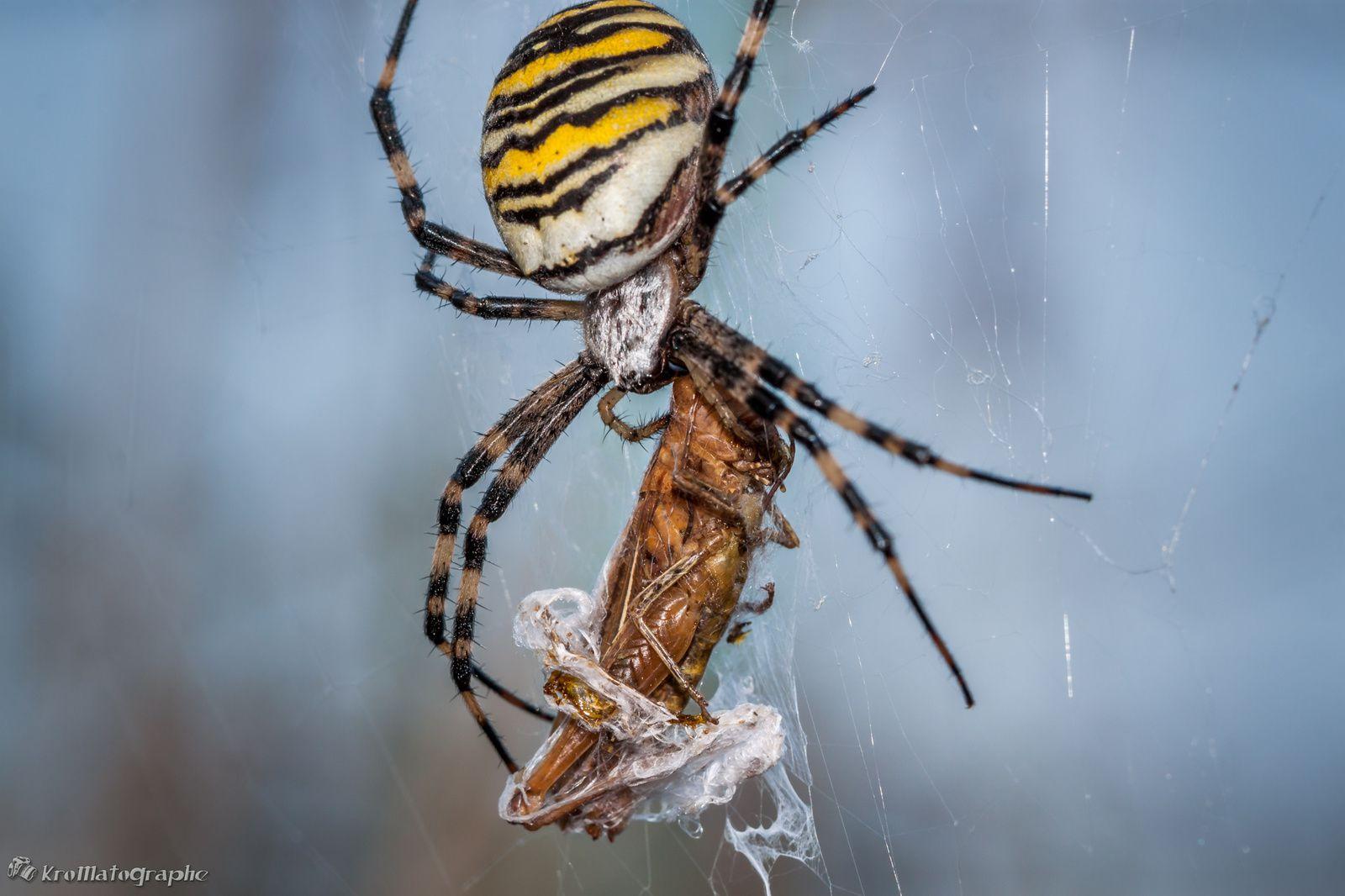 Araignée Argiope, le retour