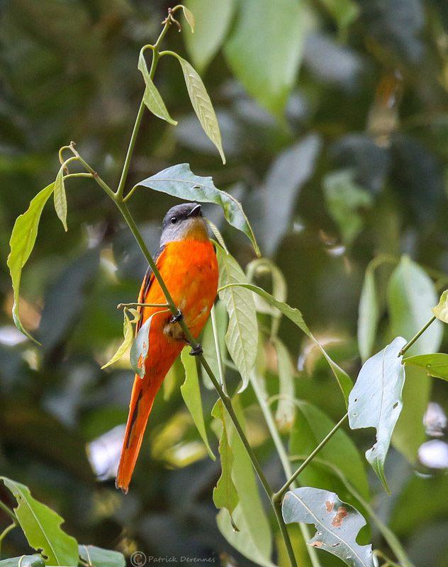 Thaïlande - minivet mandarin