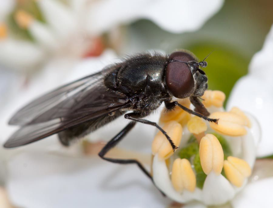 Cheilosia variabilis [archives 2010]