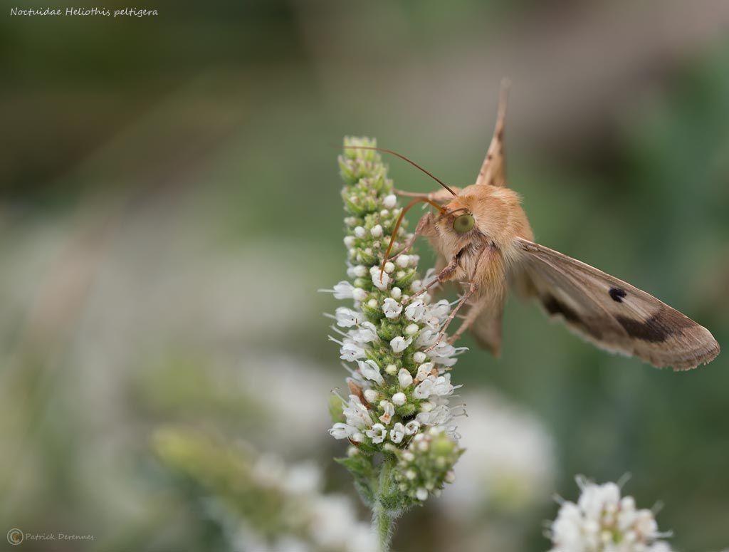 Noctuidae Heliothis peltigera