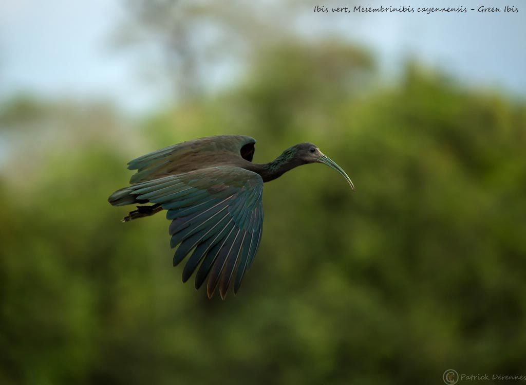 Pantanal - 19 b