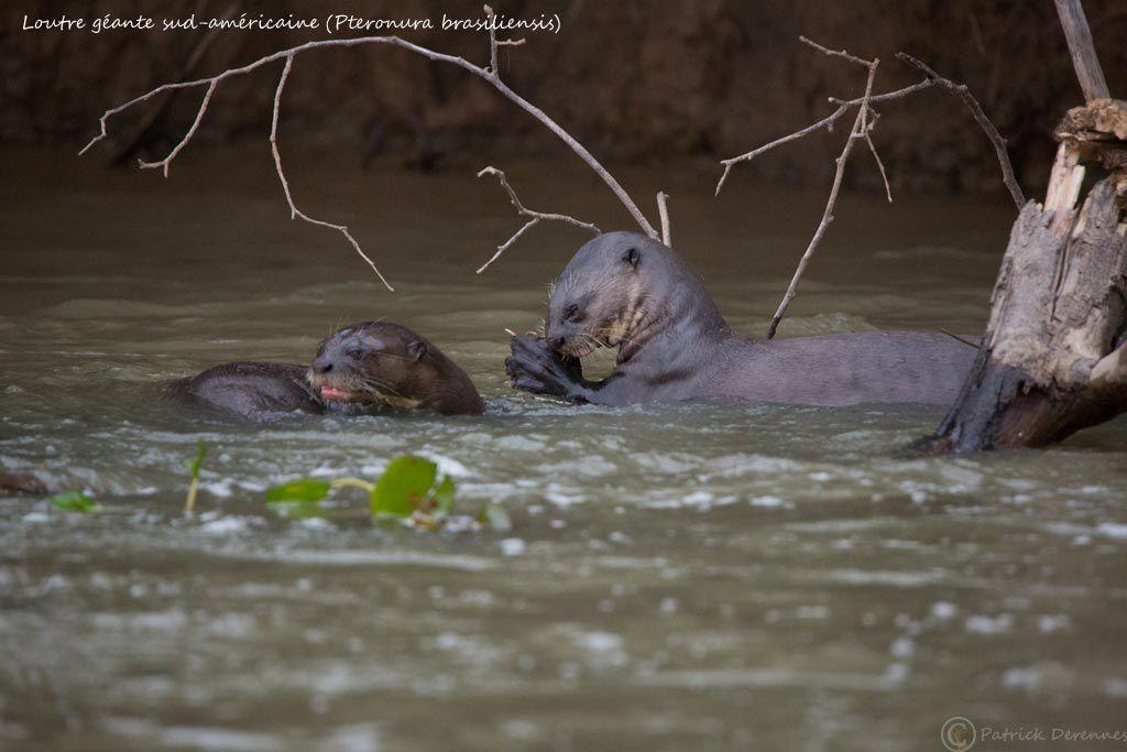 Pantanal - 77 c