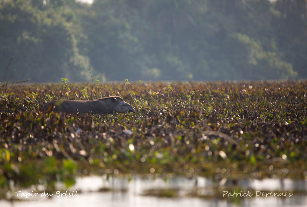 Pantanal - T'as pir comme obs'