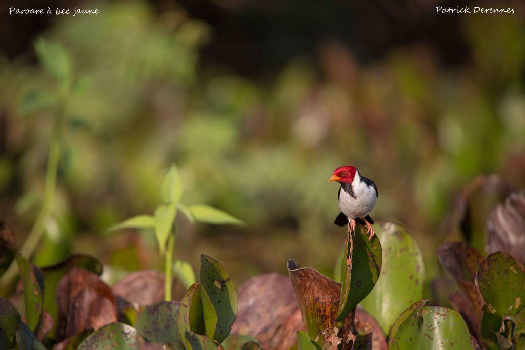 Pantanal - Paroare à bec jaune