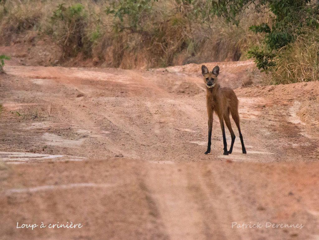 Chapada dos Guimaraes - Loup à crinière 2