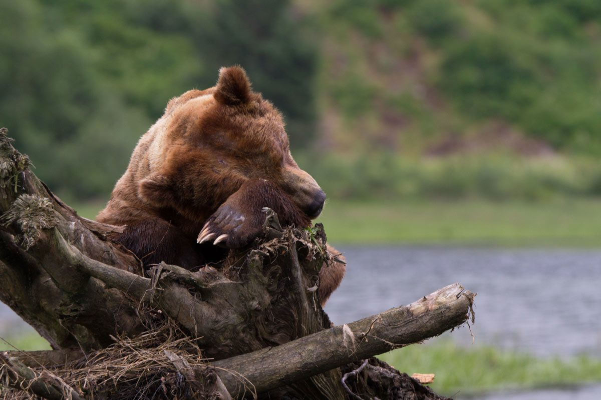 Au vu et au su te tous, le mâle dominant de cette vallée fait la sieste au sec !
