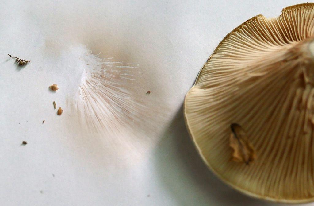 Clitopilus prunulus