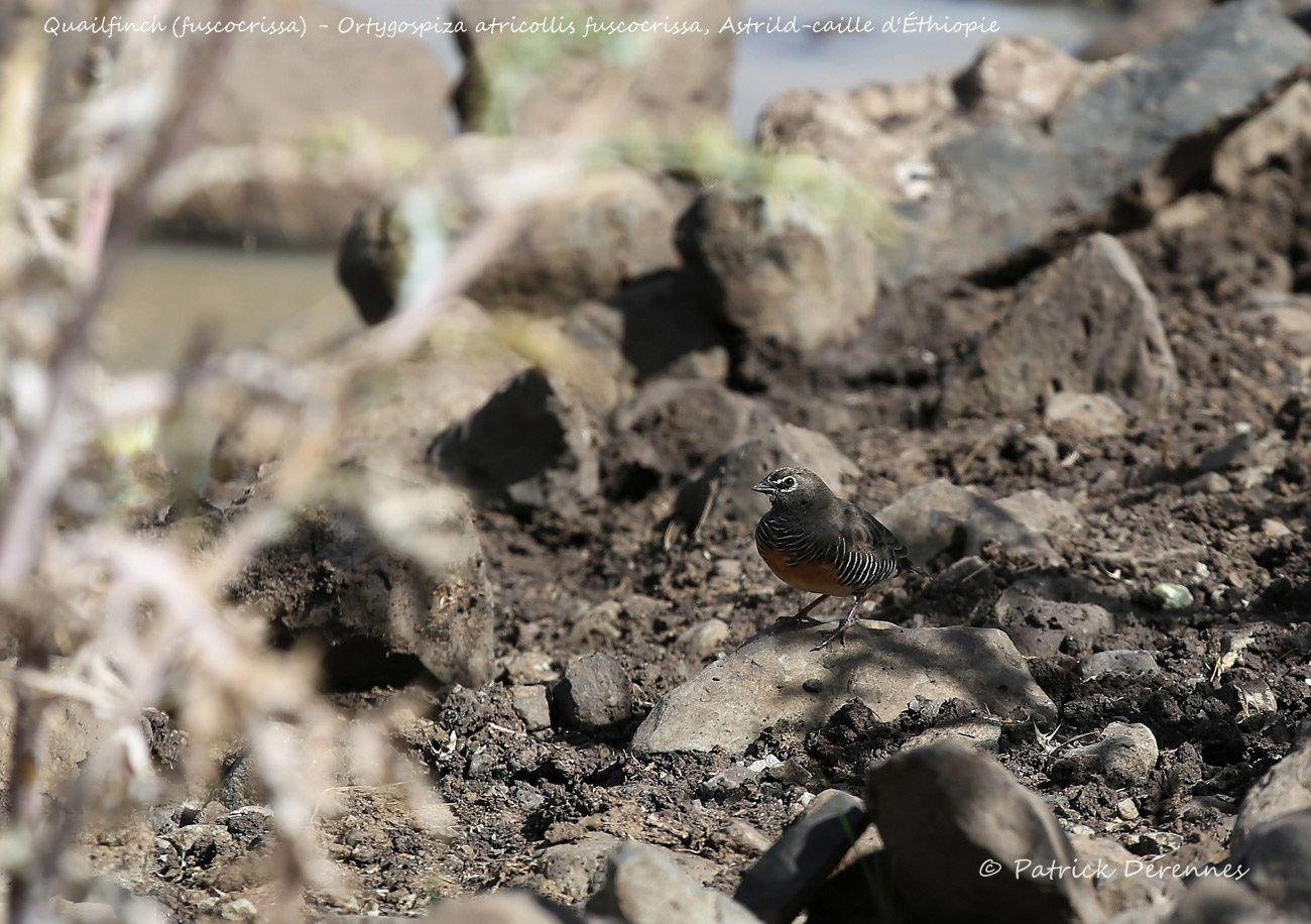 Ethiopie - Astrild-caille d'Ethiopie