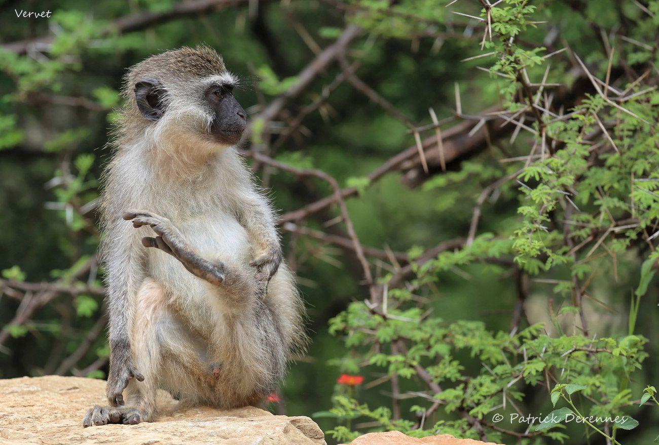 Ethiopie 2013 - Vervet
